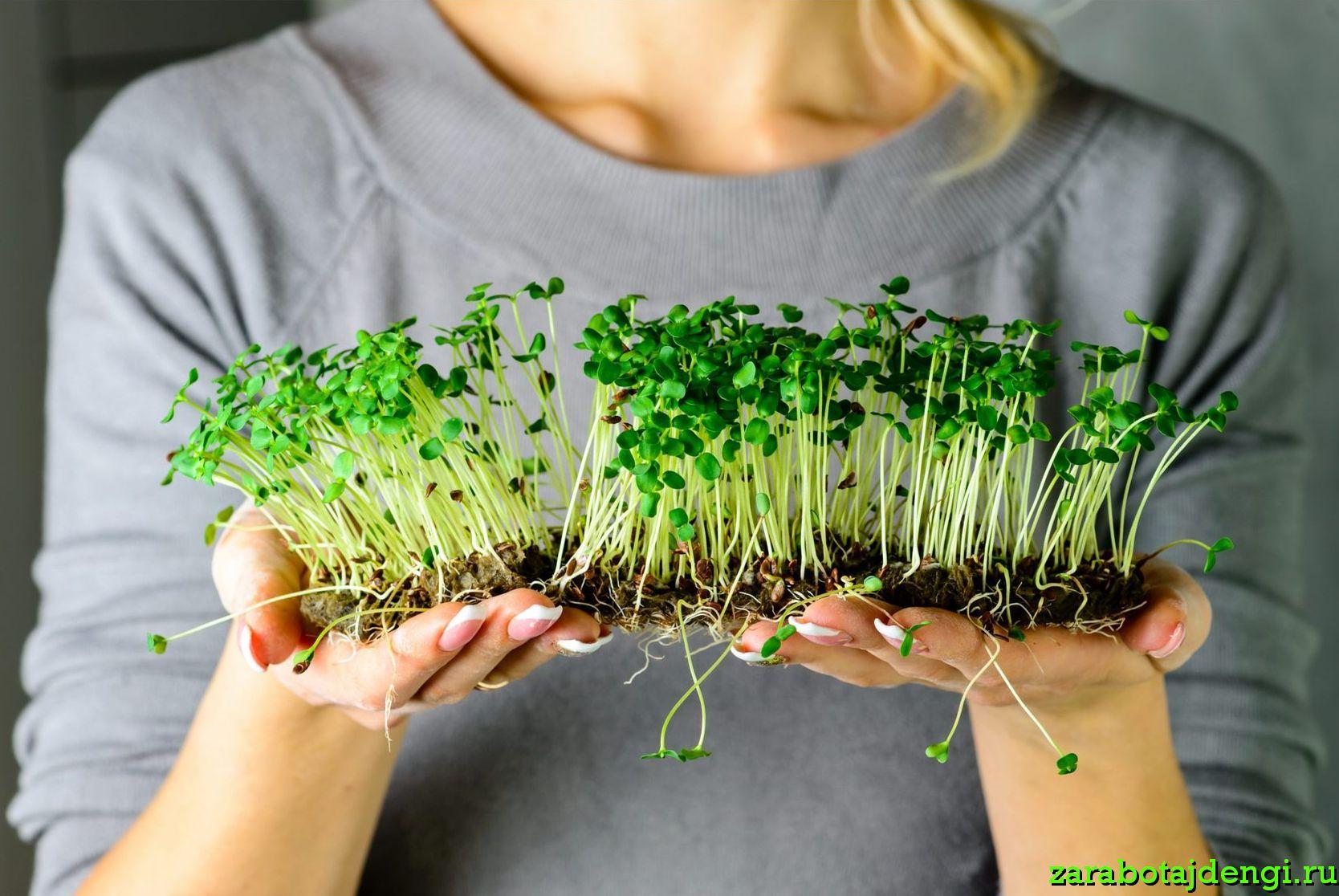 Выращивание микрозелени как бизнес